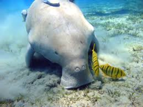 A-dugong-feeding-on-a-sea-grass-bed
