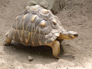 300px-astrochelys_radiata_-roger_williams_park_zoo_usa-8a